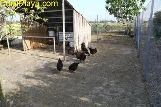 gallinas en el corral